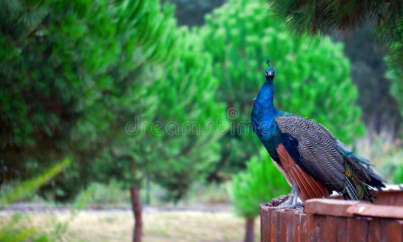 Påfågel i natur royaltyfri bild
