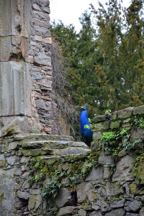 Påfågel på den gamla stenväggen arkivfoton