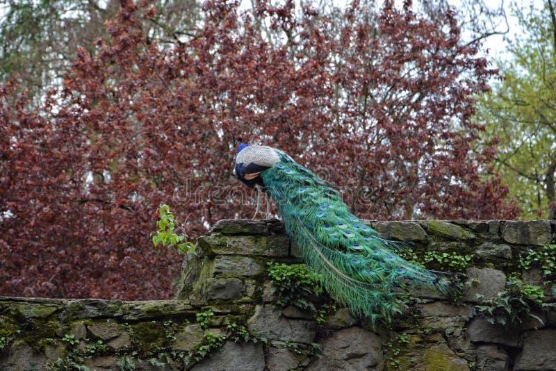 Påfågel på den gamla stenväggen arkivbild