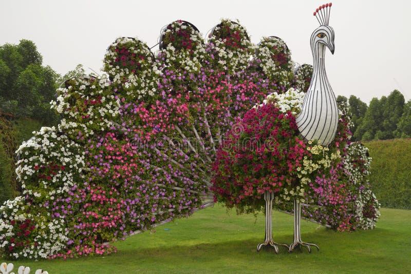 Påfågel på mirakelträdgården i Dubai fotografering för bildbyråer