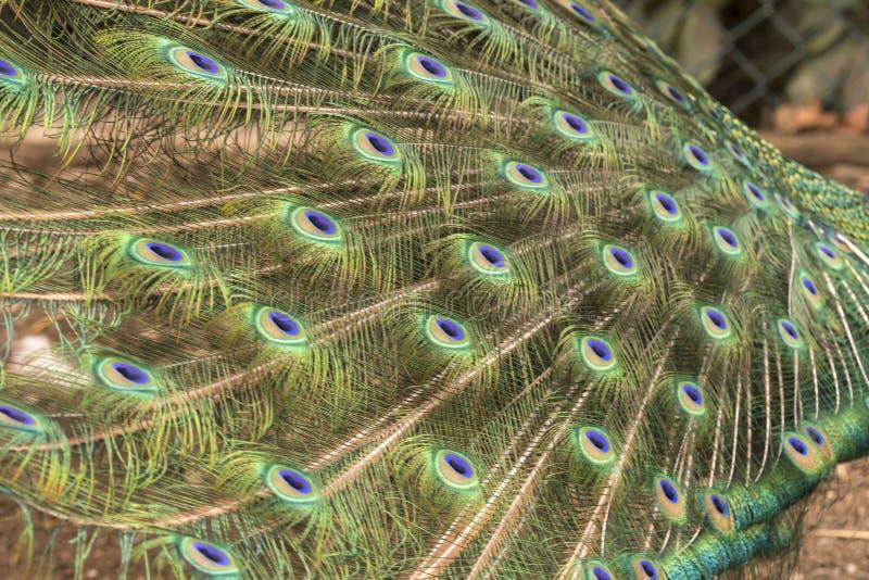 Påfågel som gör hjulet på en gräsmatta arkivfoto