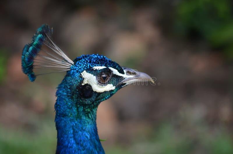 Påfågel som profilerar för kameran royaltyfri bild