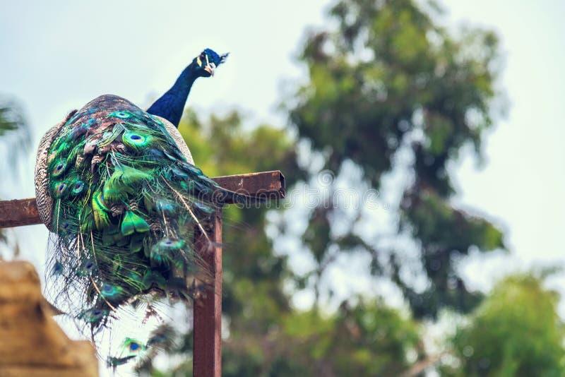 Påfågel som sitter på en filial, slut upp, vilda djur arkivbild