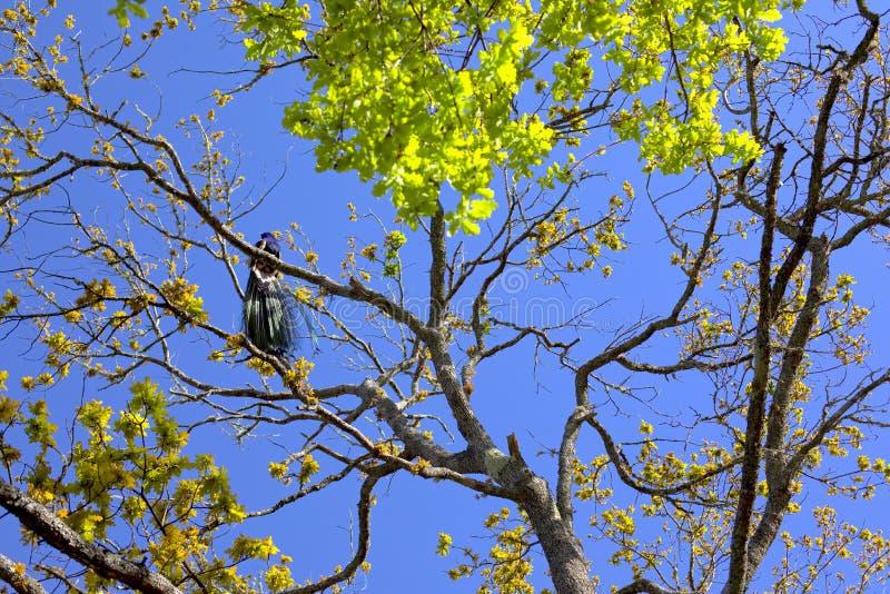 Påfågel som uppifrån sjunger av ett träd arkivbilder