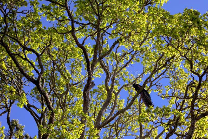Påfågel som uppifrån sjunger av ett träd arkivfoto