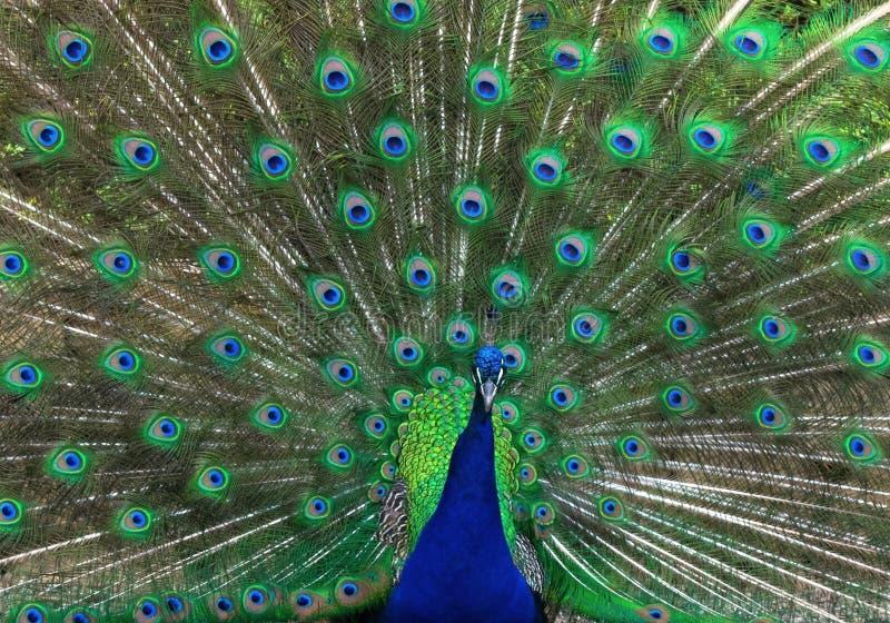 Påfågel som visar all dess glans arkivbilder