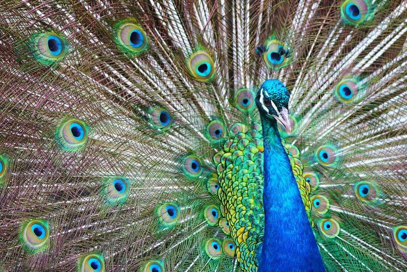 Påfågelaffisch - landskap - en härlig påfågel för vuxen man sammanlagt dess stass arkivfoton
