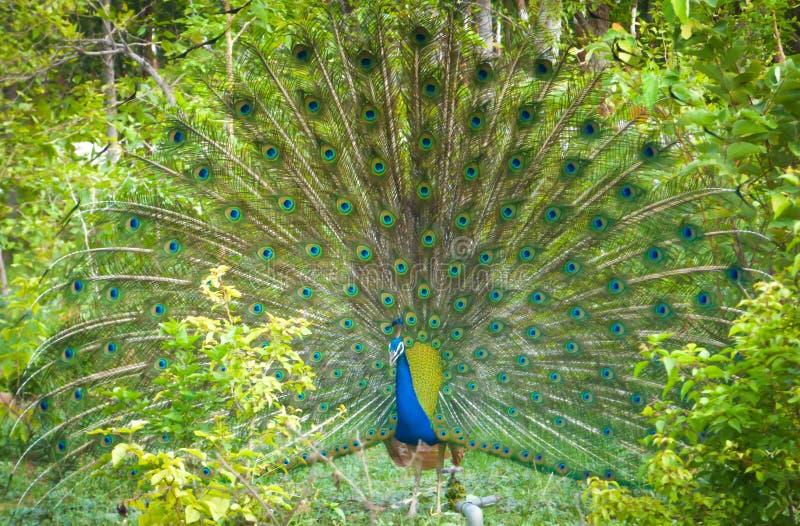 Påfågeldans fotografering för bildbyråer