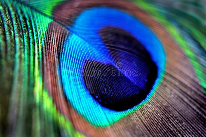 Påfågelfjäder i makroen för bakgrund eller tapet Krickabrunt för blå gräsplan royaltyfri bild