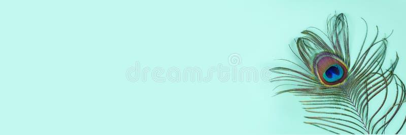 Påfågelfjäder på en turkosbakgrund, bästa sikt Moderiktiga ljusa f?rger Utrymme f?r text Brett baner royaltyfria bilder