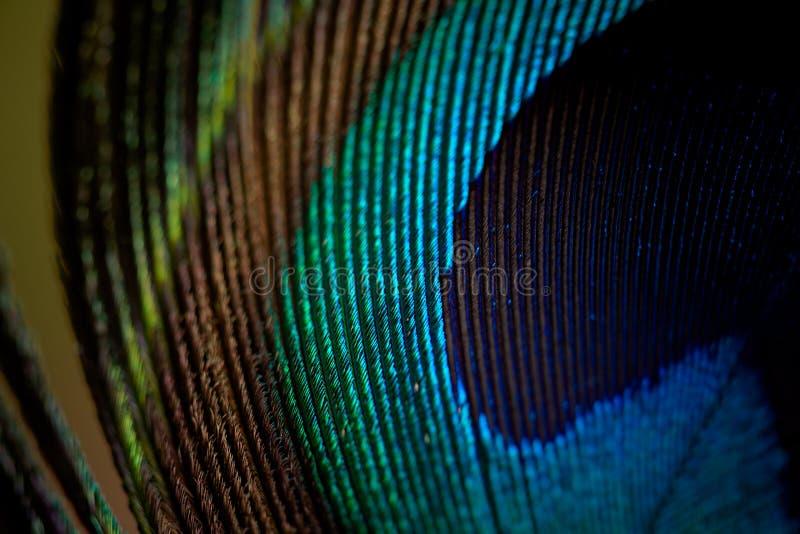 Påfågelfjädermakro arkivfoton