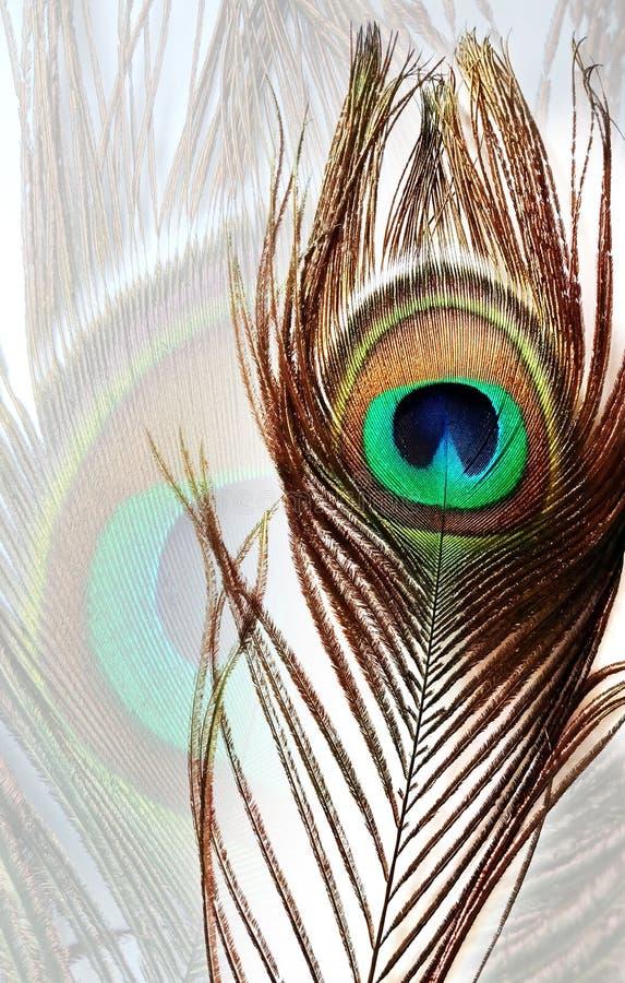 Påfågelfjädern på den vita påfågelfjädern texturerade bakgrund arkivbild