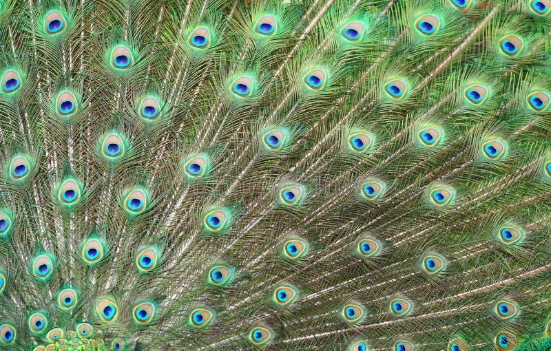 Påfågelfjädertapet arkivbilder