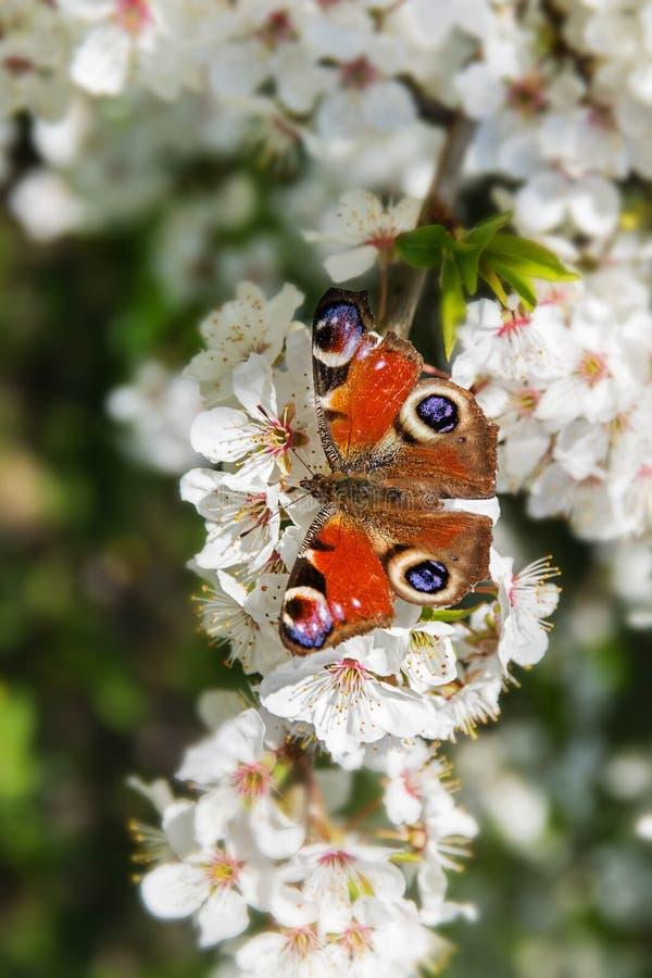 Påfågelfjäril Aglais io på de vita blomningarna av en frukt t arkivfoton