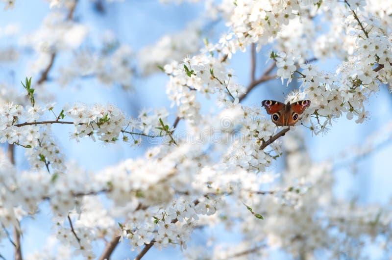 Påfågelfjäril på körsbärsröda blomningar royaltyfria foton