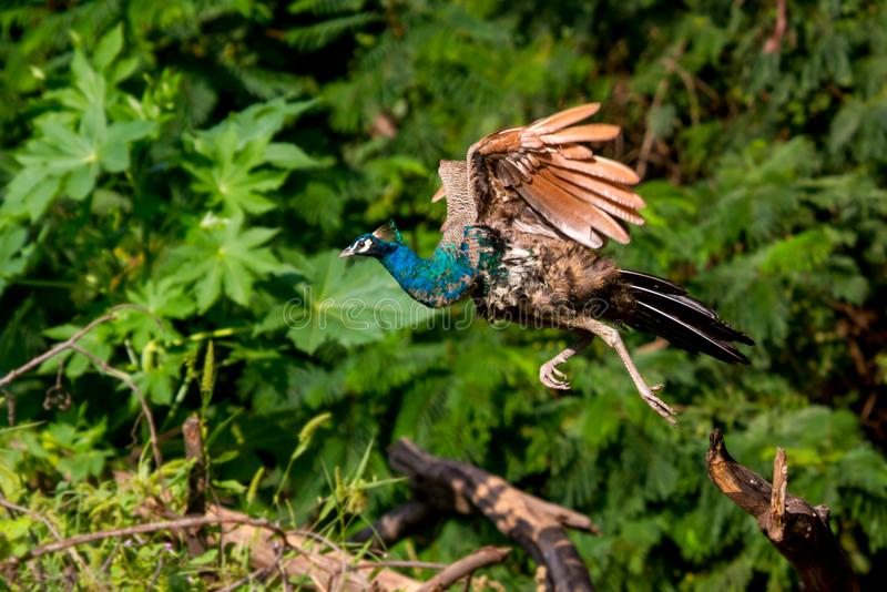 Påfågelflyg fotografering för bildbyråer