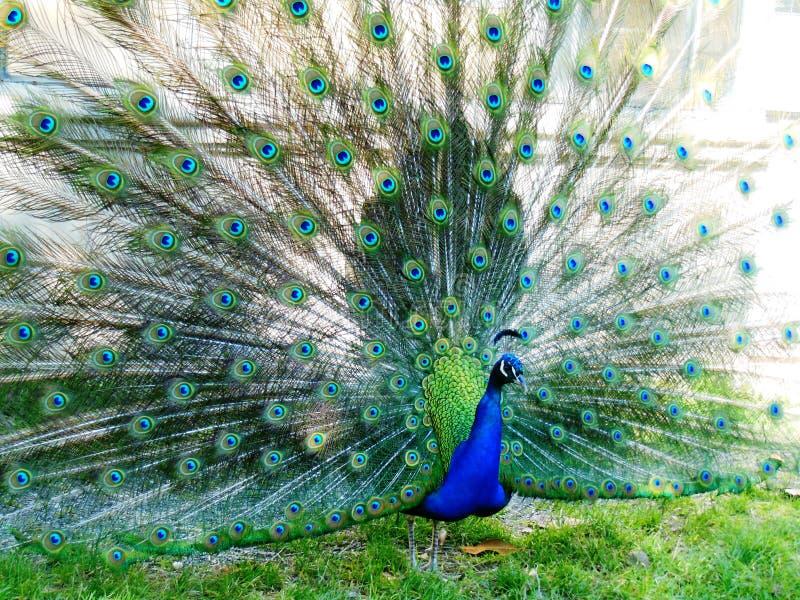 Påfågelhjul royaltyfri bild