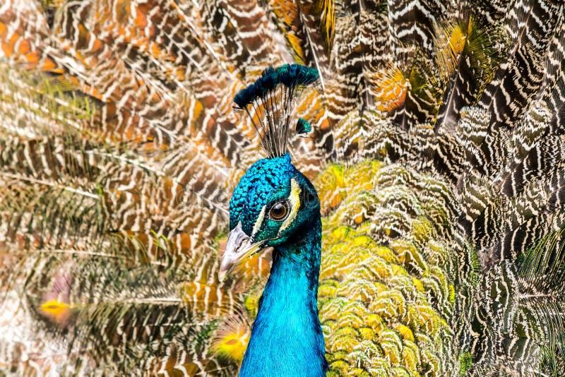 Påfågelnärbild på bakgrunden av fluffiga mång--färgade svansfjädrar arkivbilder