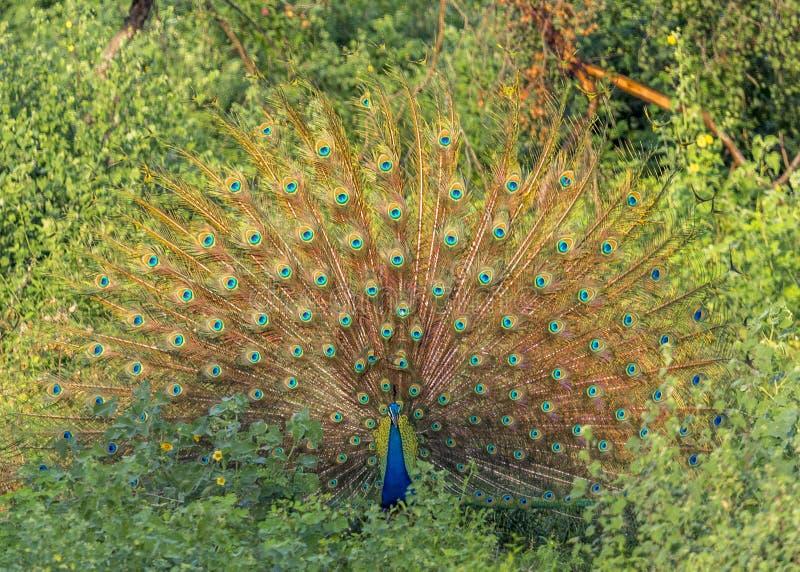 påfågeln i Udawalawe fotografering för bildbyråer