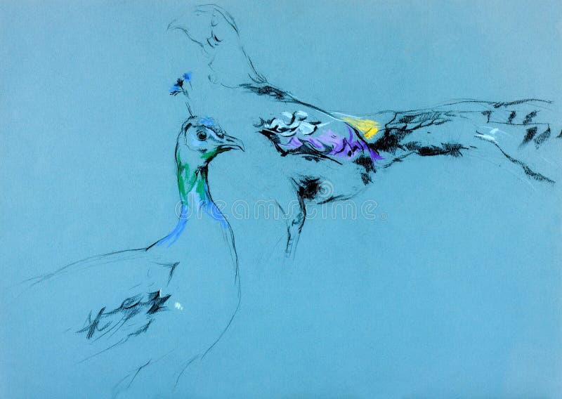 Påfågeln och peahen skissar royaltyfri fotografi