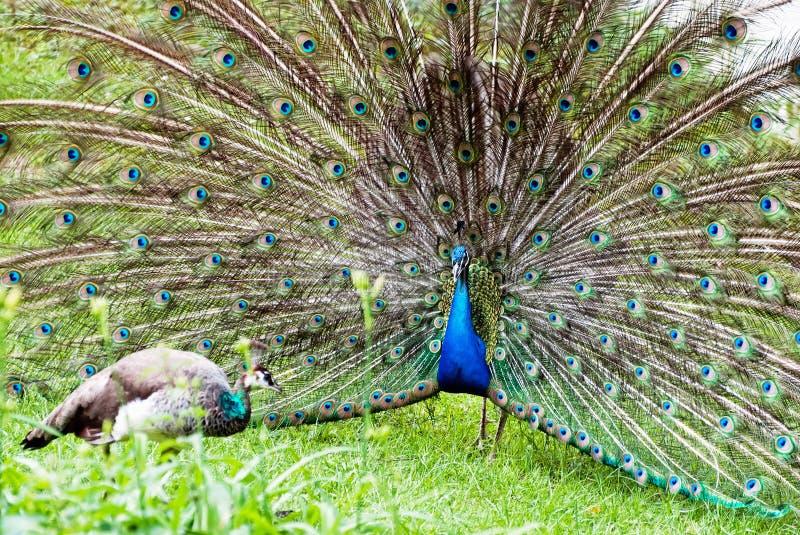 Påfågelpar (Pavocristatusen) arkivfoton