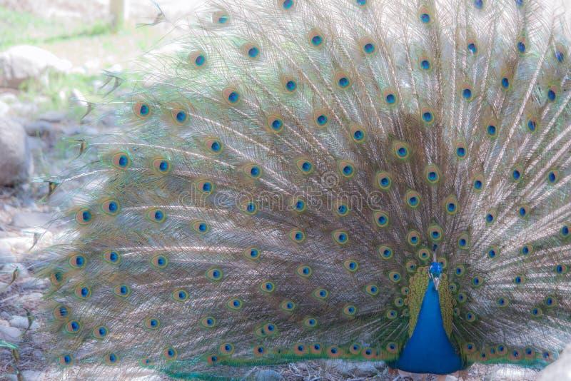 Påfågelshow royaltyfri fotografi