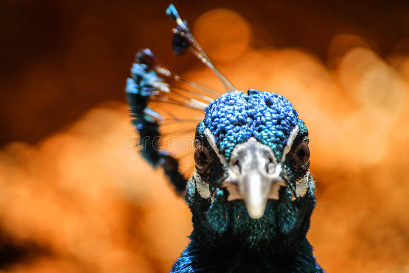 Påfågelstående från Venezuela arkivfoton