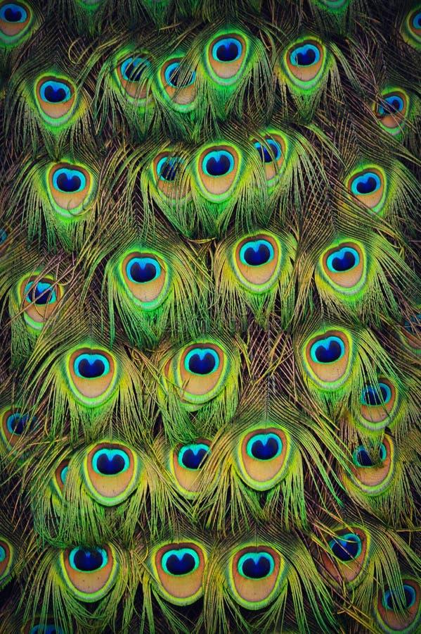 Påfågelsvansfjädrar arkivfoto