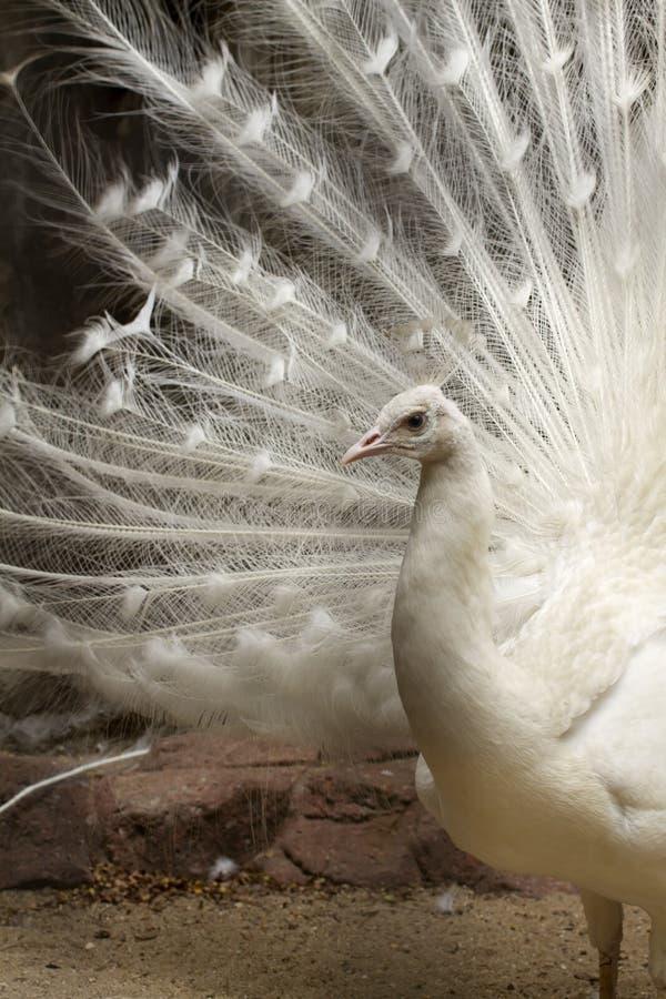 påfågelwhite arkivfoto