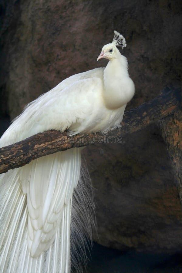 påfågelwhite arkivfoton