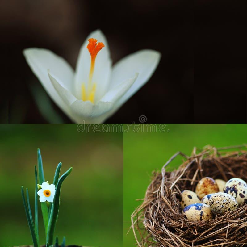 Påskcollage med den vaktelägg och våren blommar royaltyfri fotografi