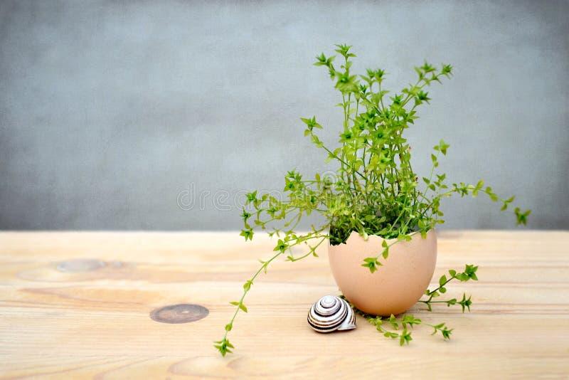 Påskgarnering: Plantera att växa i äggskalet, grungebakgrund arkivbild