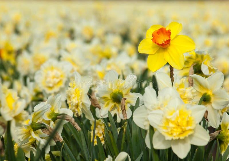 Påsklilja för gul trumpet i ett fält av vita påskliljor royaltyfri bild