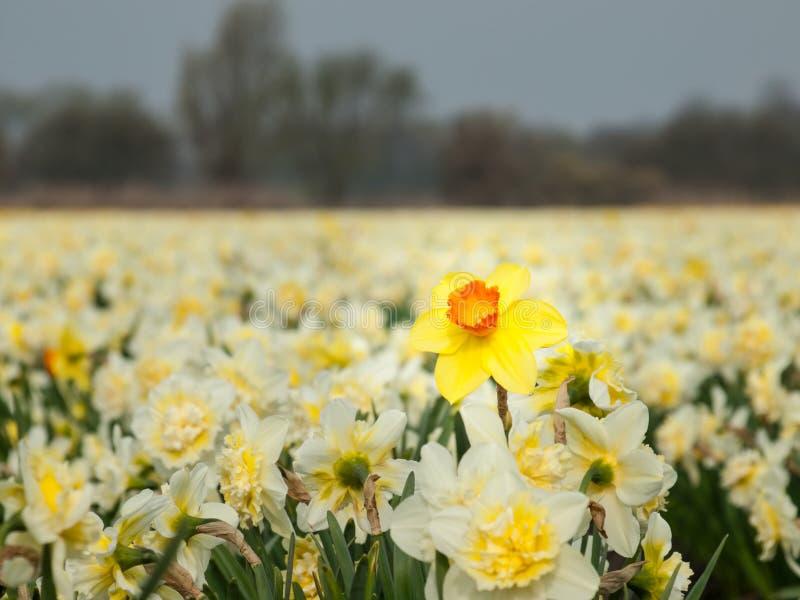 Påsklilja för gul trumpet i ett fält av vita påskliljor fotografering för bildbyråer