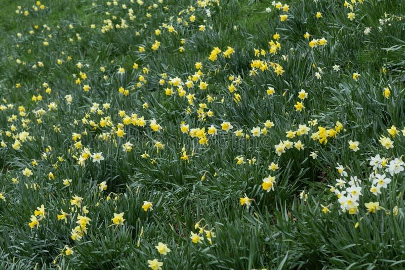 PåskliljaNarcissus Narcissus pseudonarcissus royaltyfri fotografi