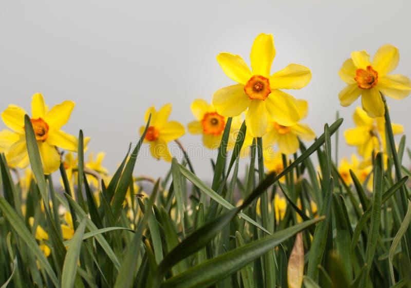 Påskliljor för gul trumpet i ett påskliljafält royaltyfri foto