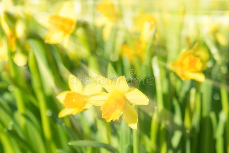 Påskliljor för vårblomningpingstlilja gulnar solbelysta blommor royaltyfria bilder