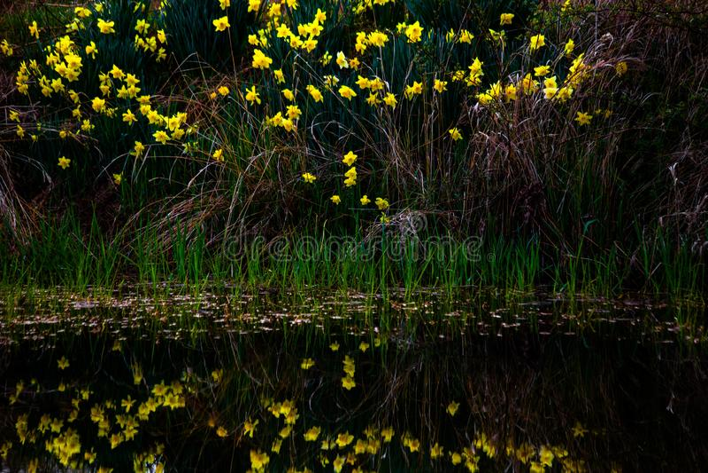 Påskliljor reflekterade i ett damm arkivfoto
