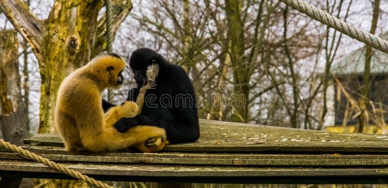 Père de Gibbon et mère avec leur nourrisson nouveau-né, bébé mettant la main sur le père, portrait de famille de singe images stock