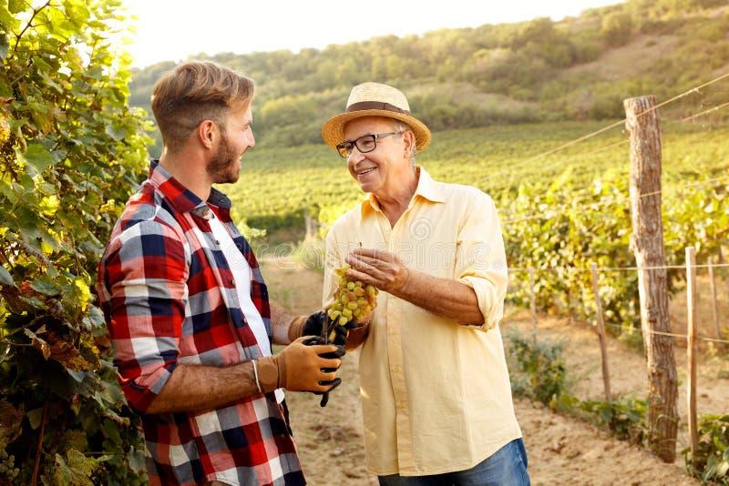 Père et fils de récolte-sourire de raisin travaillant au vignoble photos libres de droits