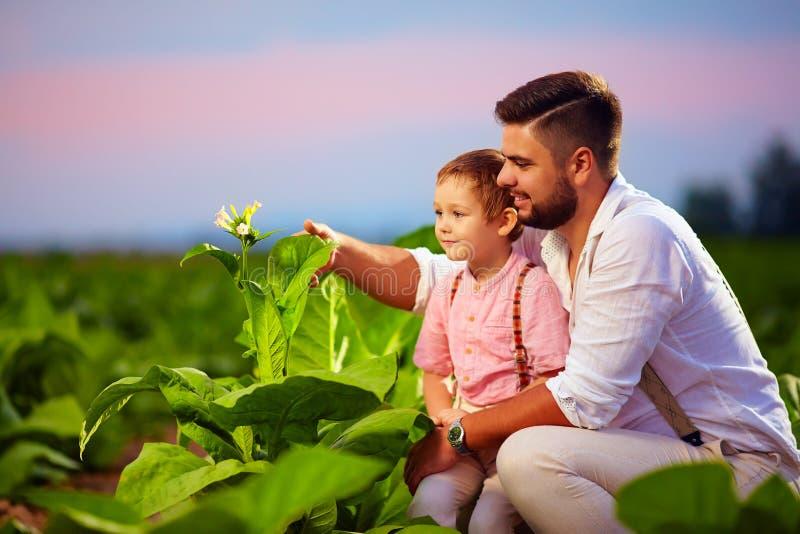 Père et fils heureux sur leur plantation de tabac, au coucher du soleil image stock