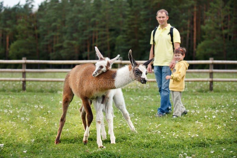 Père et fils regardant deux lamas de bébé photographie stock