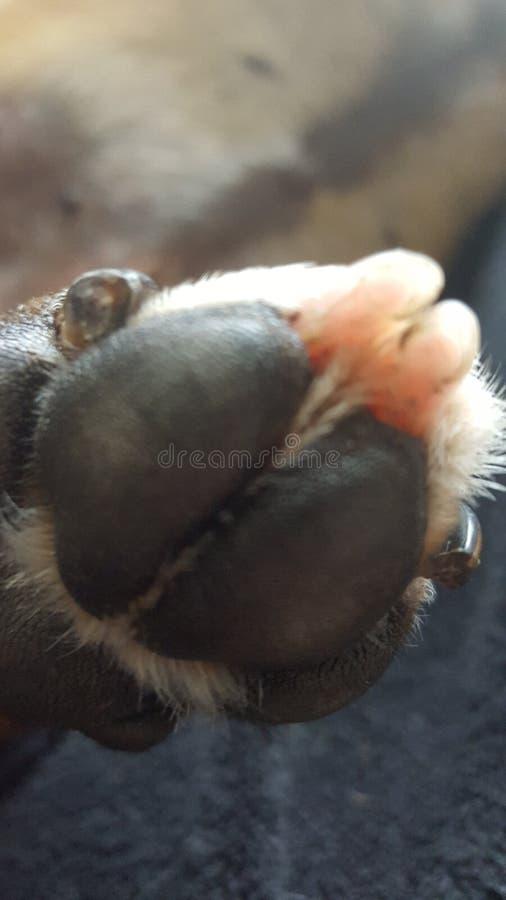 Pé de Staffie com os dois dedos do pé cor-de-rosa fotografia de stock