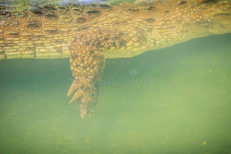 Pé do crocodilo ao nadar sob a água e a rapina de espera imagens de stock