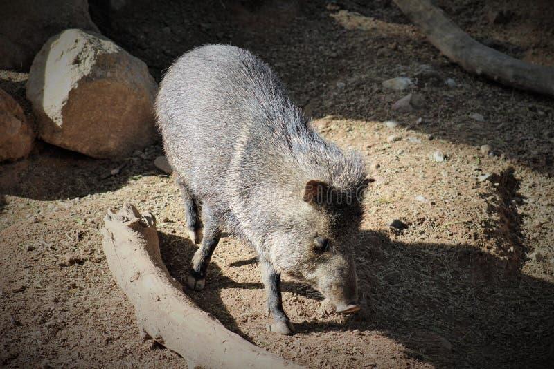 Pécari colleté au zoo de Phoenix, situé à Phoenix, l'Arizona images libres de droits