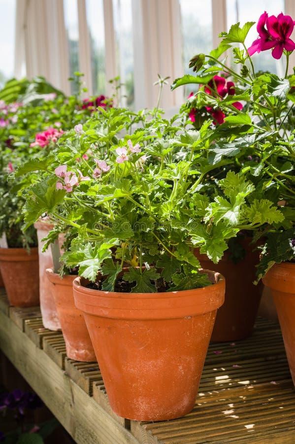 Pélargonium parfumés de feuille - pots de terre cuite - pélargonium - Gera images libres de droits