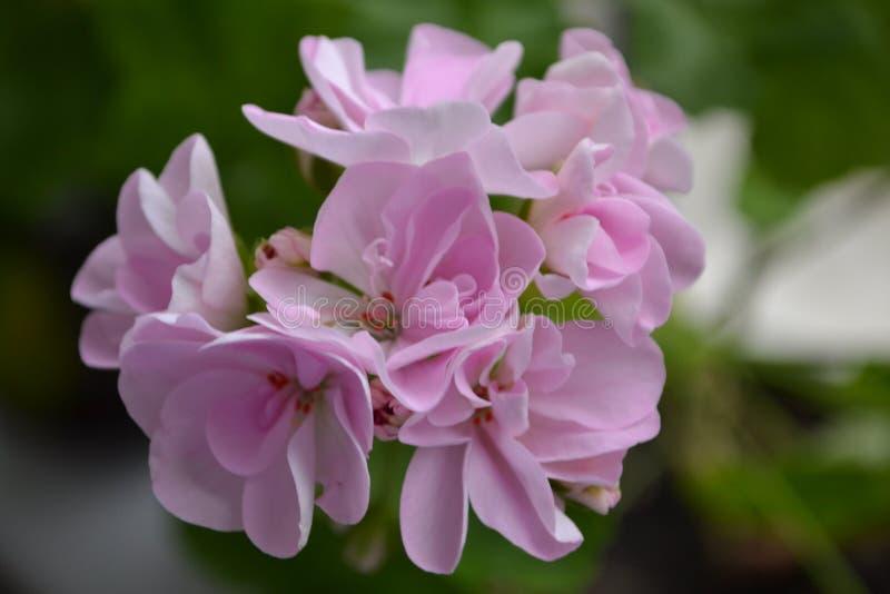 Pélargonium pourpre de fleur images libres de droits