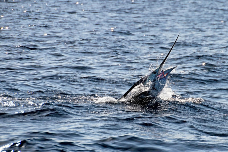 Pélerin de Marlin, l'océan pacifique, Costa Rica photographie stock libre de droits