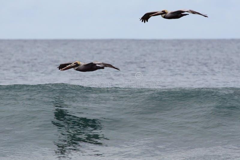 Pélican au-dessus d'océan photographie stock libre de droits