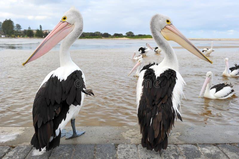 Pélican australien, oiseau blanc, australie images libres de droits